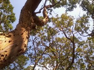 treesk