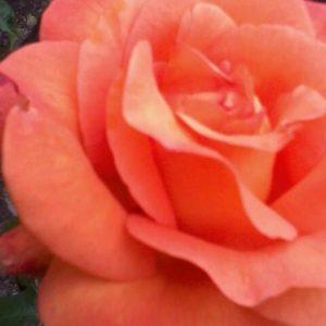 pinkf